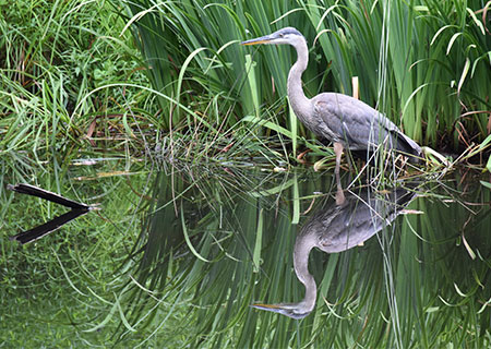 Seattle's Great Blue Herons